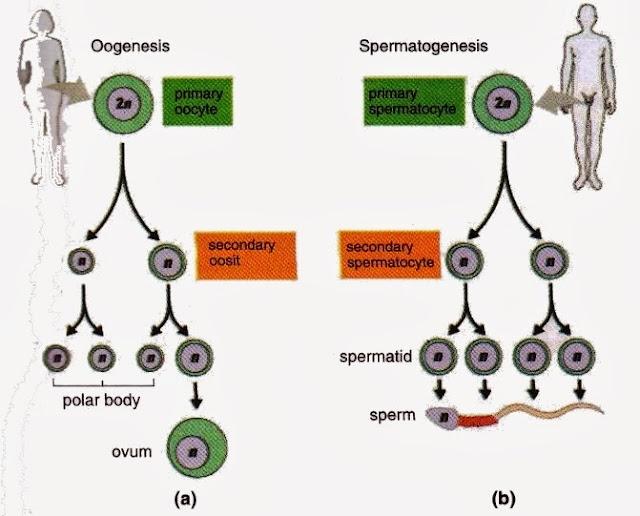 gametogenesis oogenesis and spermatogenesis