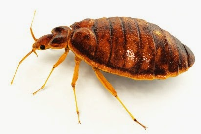 how to kill bed bugs with flea treatments