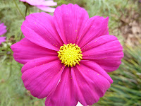 A flower with eight pinky purple petals and a yellow middle bit with lots of pollen at the Nunobiki Herb Garden, Kobe