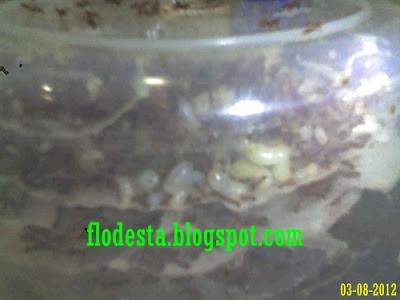 Ternak Kroto Di Toples Menghasilkan Telur Ratu