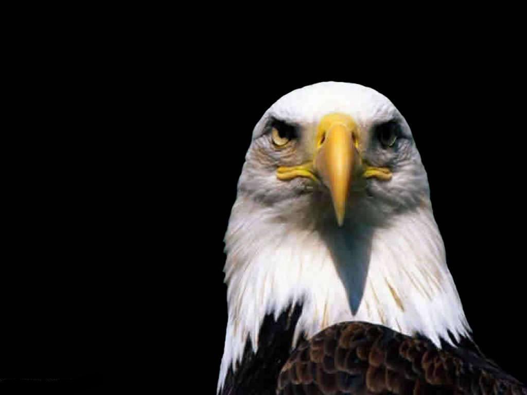 Must see   Wallpaper Horse Eagle - eagle-1  Photograph_18522.jpg