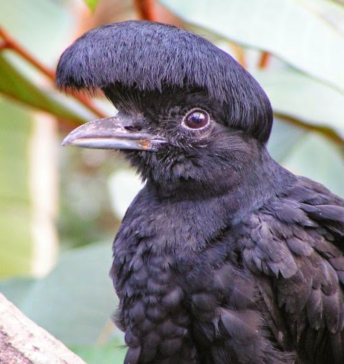 Umbrellabird