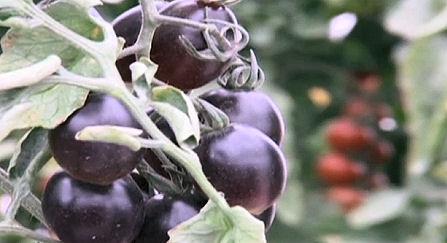 The Presurfer: Israeli Scientists Breed Black Tomato