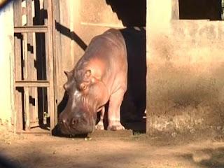 Hipopótamo foi encontrado morto dentro da jaula (Foto: Reprodução / TV TEM)