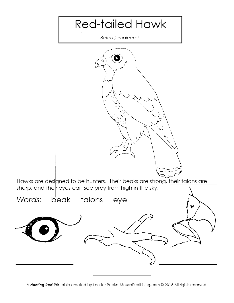 Red-tailed Hawk Printable Worksheet
