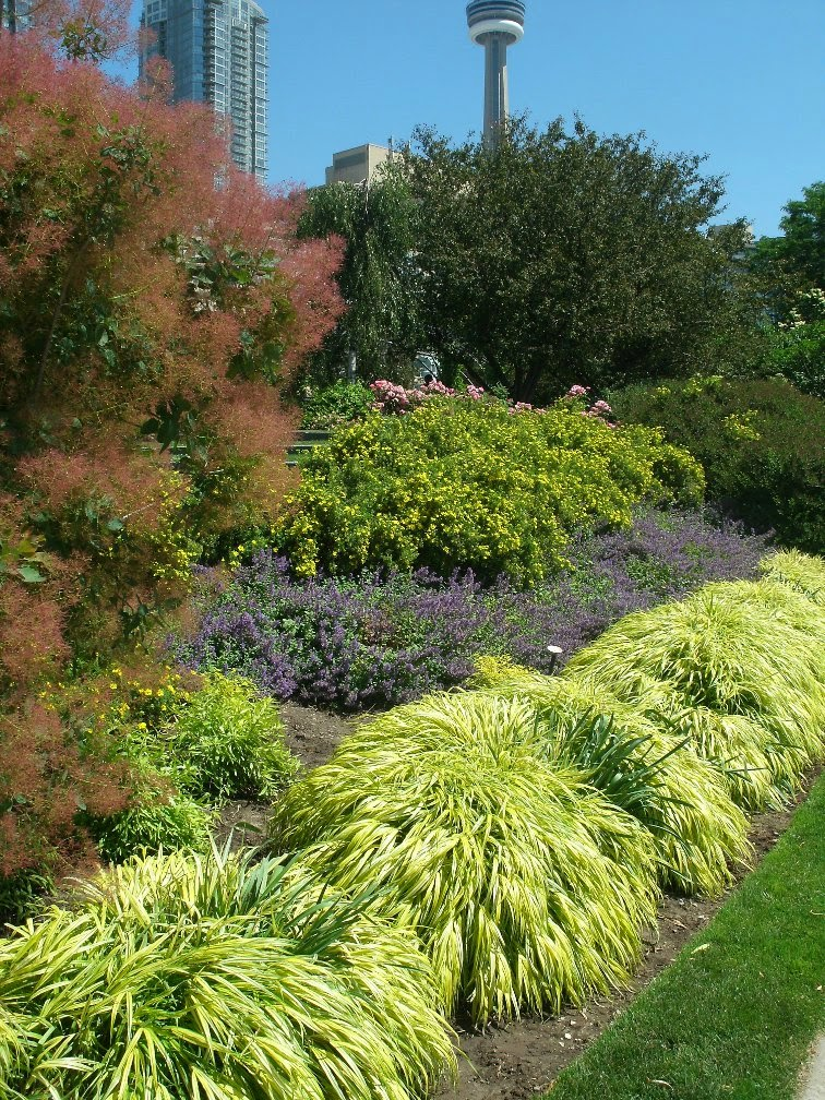 Toronto Music Garden showing japanese forest grass, blooming smokebush, purple salvia, yellow potentilla by garden muses: a Toronto gardening blog