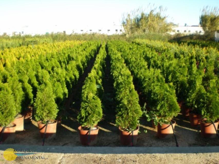 Como cuidar las coniferas ii parte cuidado de plantas - Cuidado de jardines ...