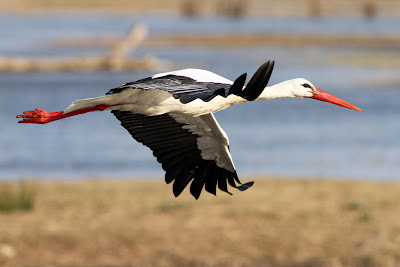 red and white bird in flight