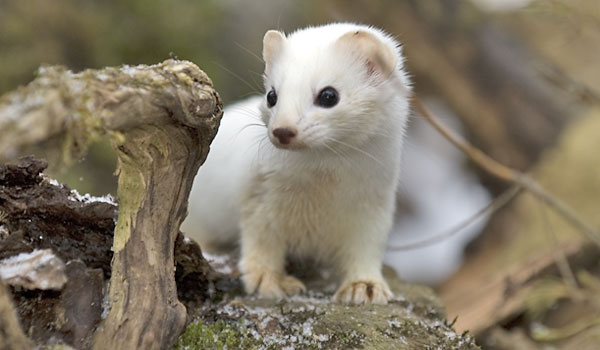 Stock Images Ermine Image13800314 moreover Block 4 Tundra 2 as well El Armino together with Ermine Facts as well Hermine p5. on tundra ermine