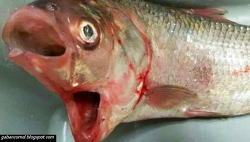 Aneh Ikan Pelik Bermulut Dua Ditemui di Perairan Australia