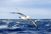 A Shy Albatross - worth the sea sickness!
