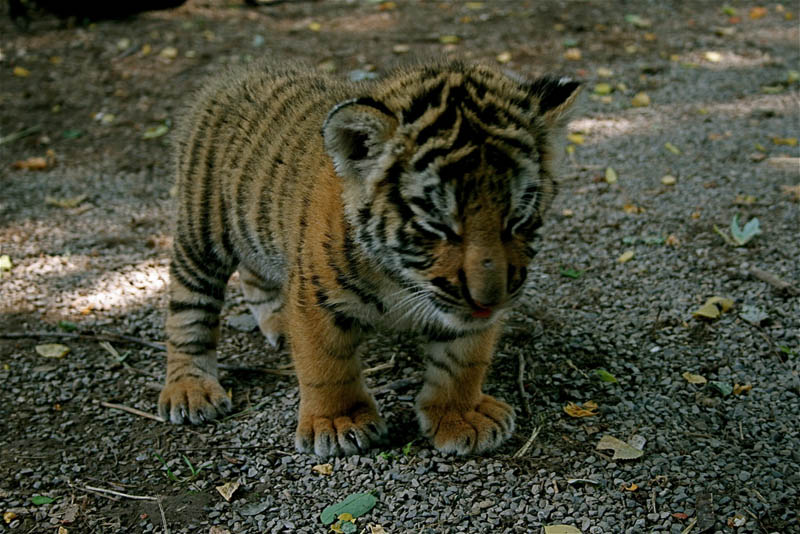 The Tiger - superior of all the cats ! | Biodiversity - A ...