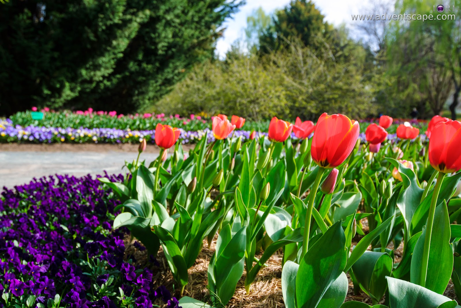 Philip Avellana, adventscape, iori, Tulip Top Gardens, garden, spring, NSW, New South Wales, Sutton, Old Federal Highway, Bywong, 2621, POV, Point of View