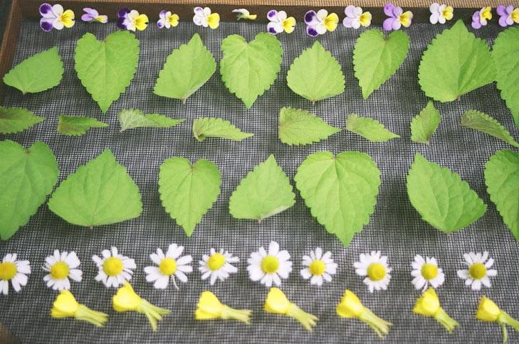 Les feuilles et les fleurs mises à sécher