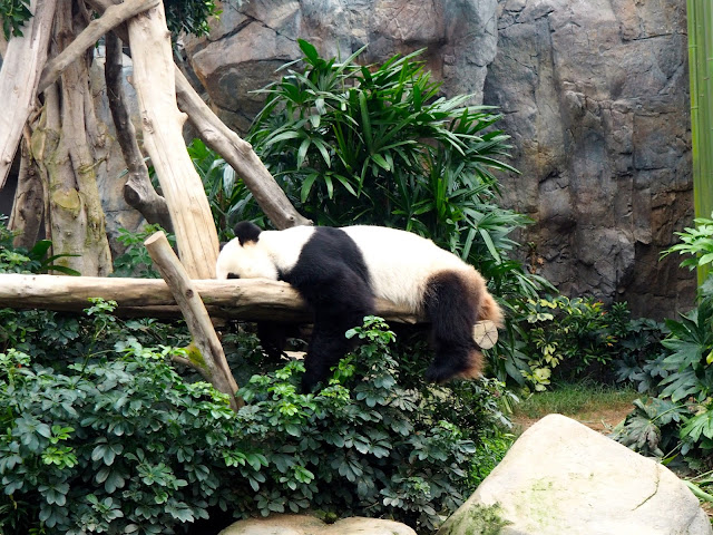 Sleeping giant panda in Ocean Park, Hong Kong