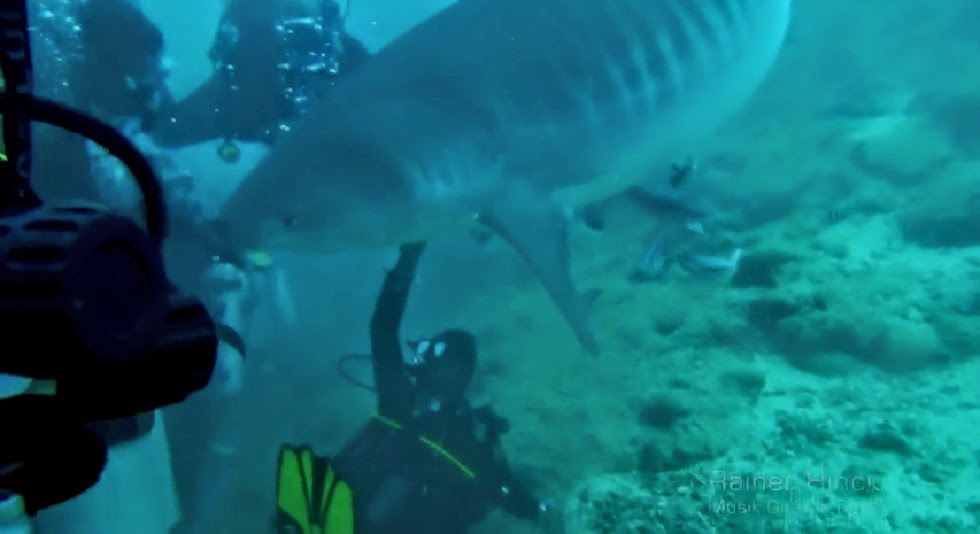 Tiger shark on Fiji Dive hand feed.