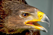 Eagles HD