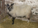 Typical 1927 Standard Shetland Sheep