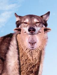 Cuidado com os lobos em pele de cordeiro