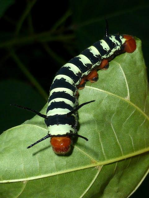 Arsenura caterpillar Mexico