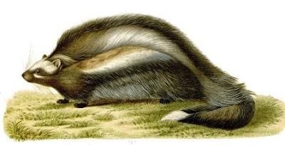 La rata de crin, crestada o hámster de Imhaus (Lophiomys imhausi).