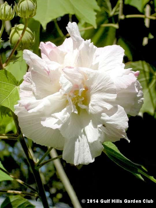 Gulf hills garden clubhibiscus mutabilis confederate rose cotton hibiscus mutabilis confederate rose cotton rose in bloom in ocean springs ms mightylinksfo