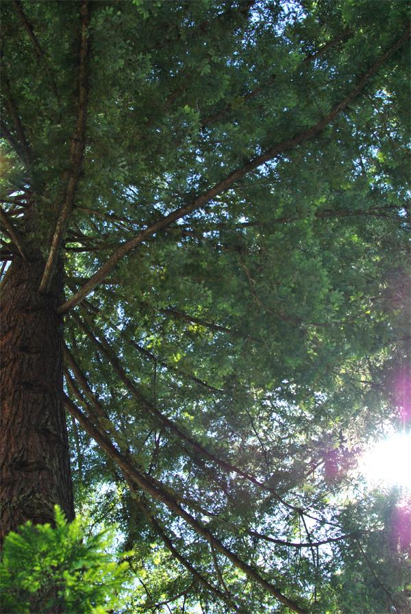 under a redwood