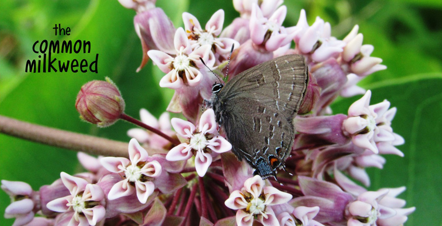 the common milkweed