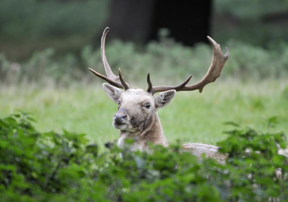 back in birdland fallow deer norfolk