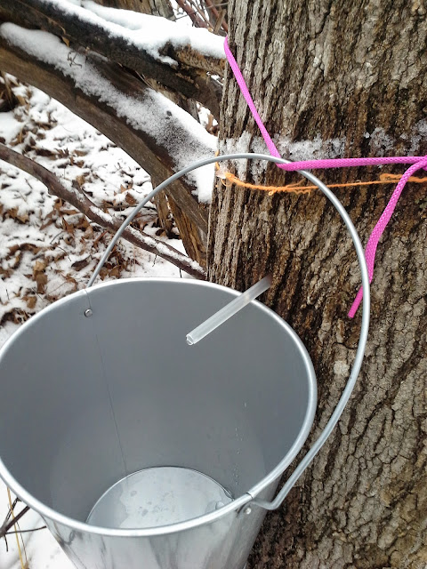 DIY macgyver maple syrup buckets and spiles