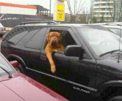 Grande Cão Cachorro posa na janela de um carro