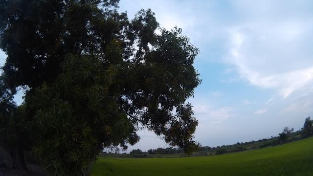 ภาพทุ่งนากับต้นไม้ริมคันนา