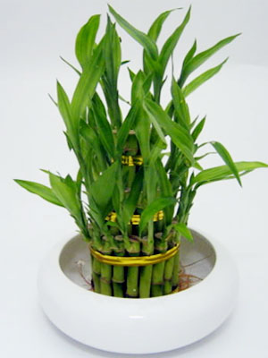 Bamboo Plants5