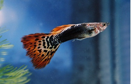 Red dragon guppy
