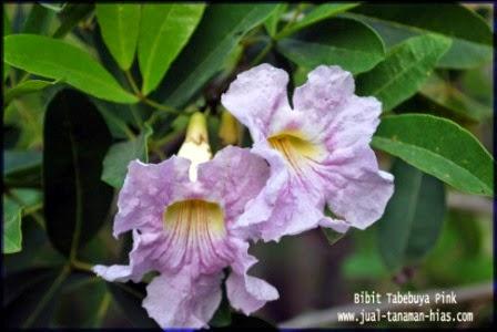 Bibit Tabebuia ungu | Jual Pohon Tabebuya |Tabebuia Impetiginosa