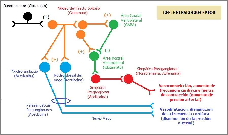 Reflejo barorreceptor y Sistema Renina - Angiotensina - Aldosterona ...