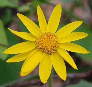 Dried Arnica Flowers http://www.healthandbeautypages.com/arnica-montana-homepathic-remedy/