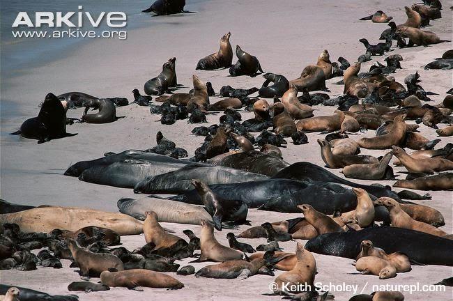 Californian fur seal between northern elephant seal