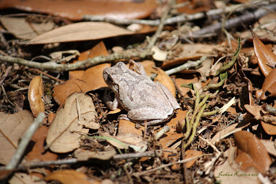 a brown frog perched on a bed of brown leaves surrounded by twigs