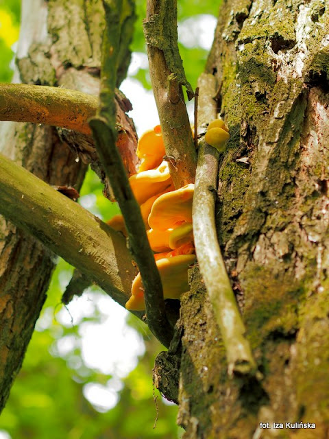 żółciak siarkowy, chicken of thr woods, grzyby