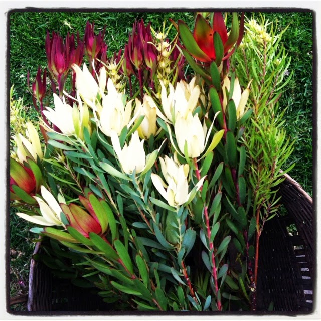 a passion for flowers leucadendron blooms. Black Bedroom Furniture Sets. Home Design Ideas