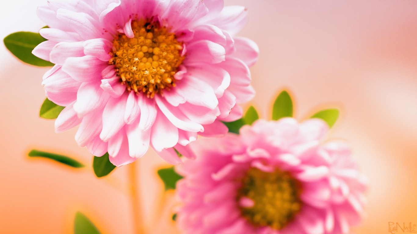 Best Flower Wallpapers In HD 1366x768