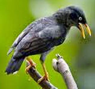 Foto Burung Jalak Hitam Terbaik
