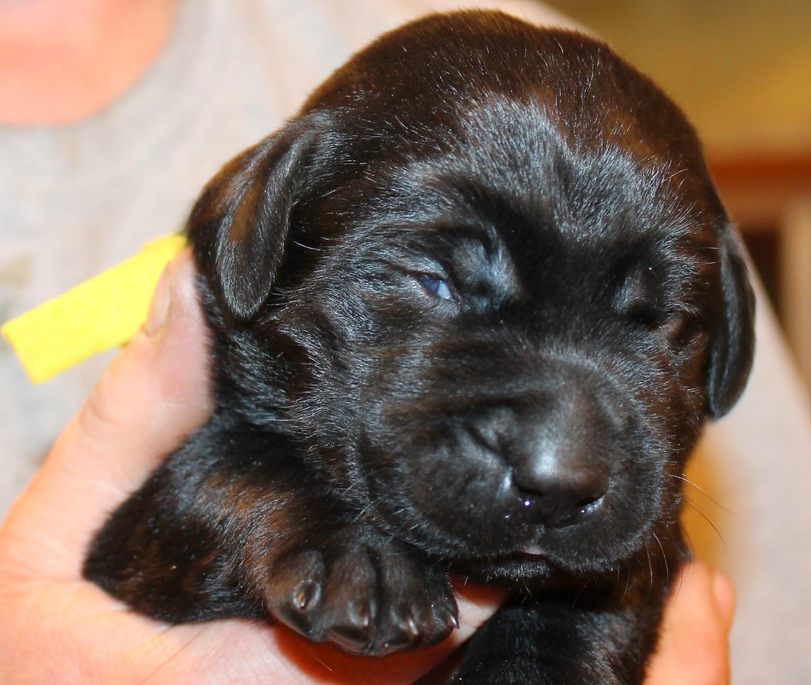 Buck Mountain Labradors Gennas Puppies 2 Weeks Old Just Starting