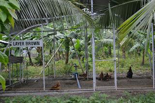 layer brown chicken of Garin farm