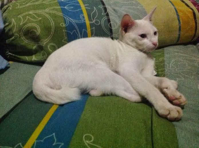 kucing putih ini namanya Pupu