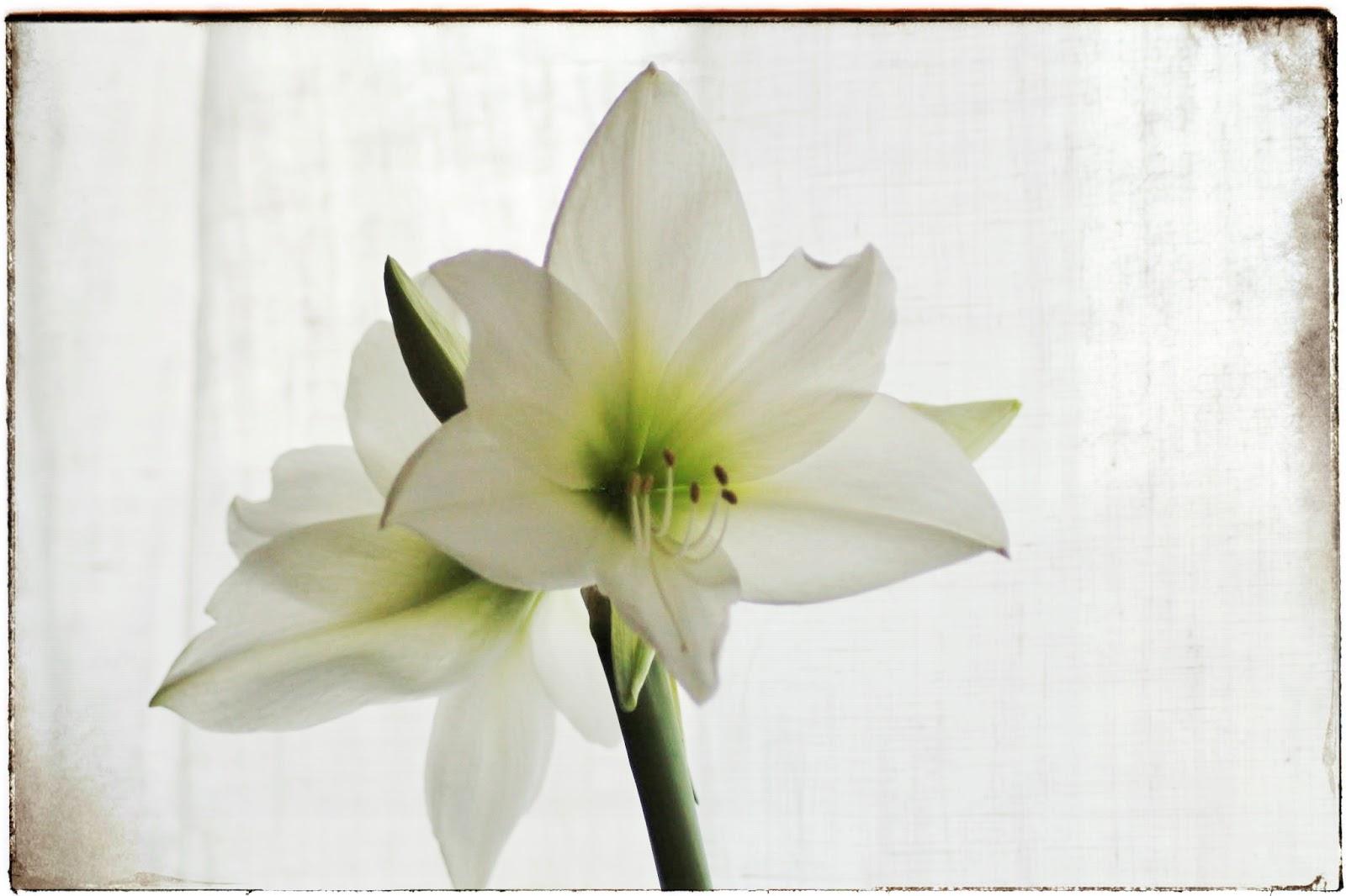 Fiori di novembre amaryllis le cure dopo la fioritura for Un amaryllis