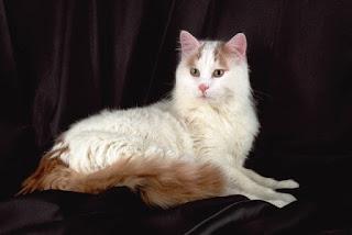 Gambar Kucing Anggora Lucu dan Imut 100020