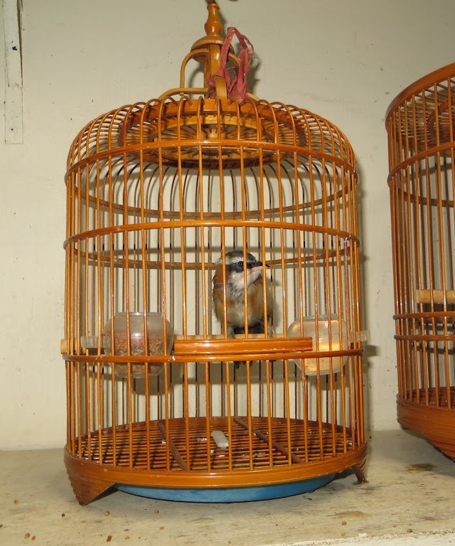 Taiwan Scimitar Babbler (Pomatorhinus musicus)