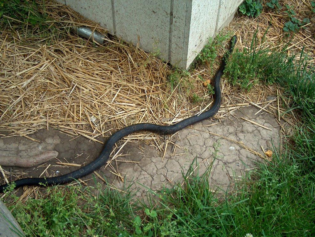 hd wallpaper  black snake hd wallpapers